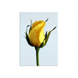 "Poster ""Yellow rose"""