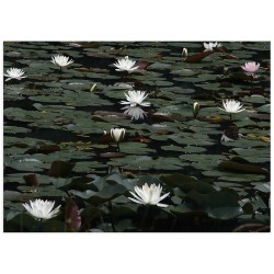 """Poster """"Water Lilies"""""""