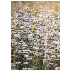 """Poster """"Field chamomile"""""""